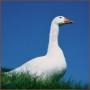 Бройлерні гуси білі кросу Г 35